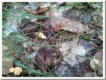Looking for chanterelles